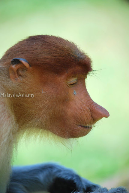 Proboscis Monkey Happy