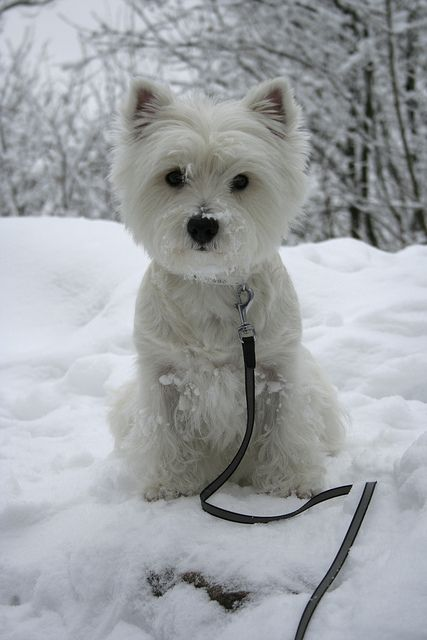 Beautiful winter scene with white scotty dog in snow