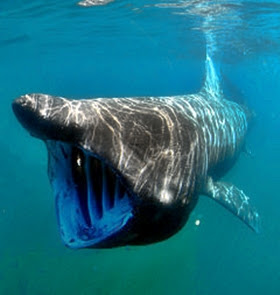 amazing basking shark