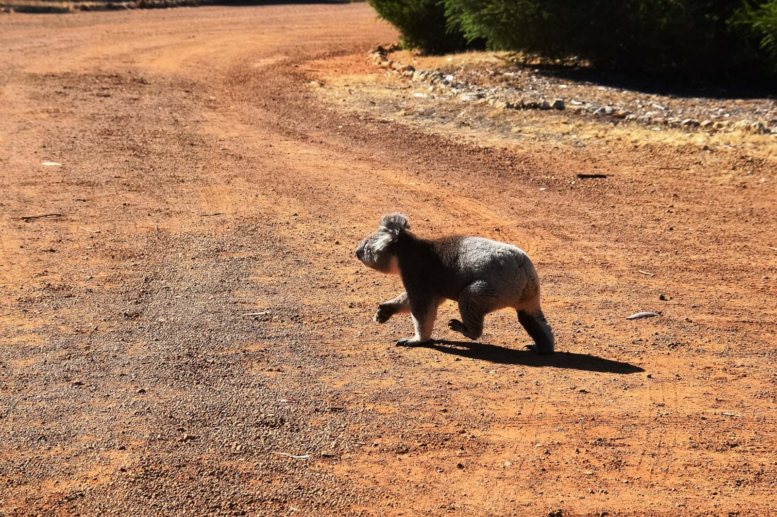 koala walking across the road