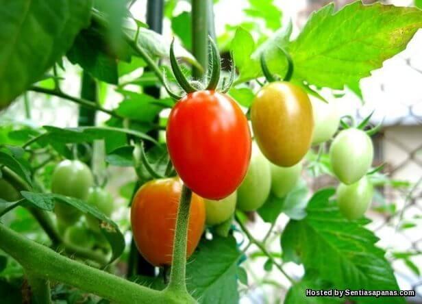Tomato Ceri
