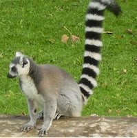 Wildlife and Flowers: LEMURS PART ONE