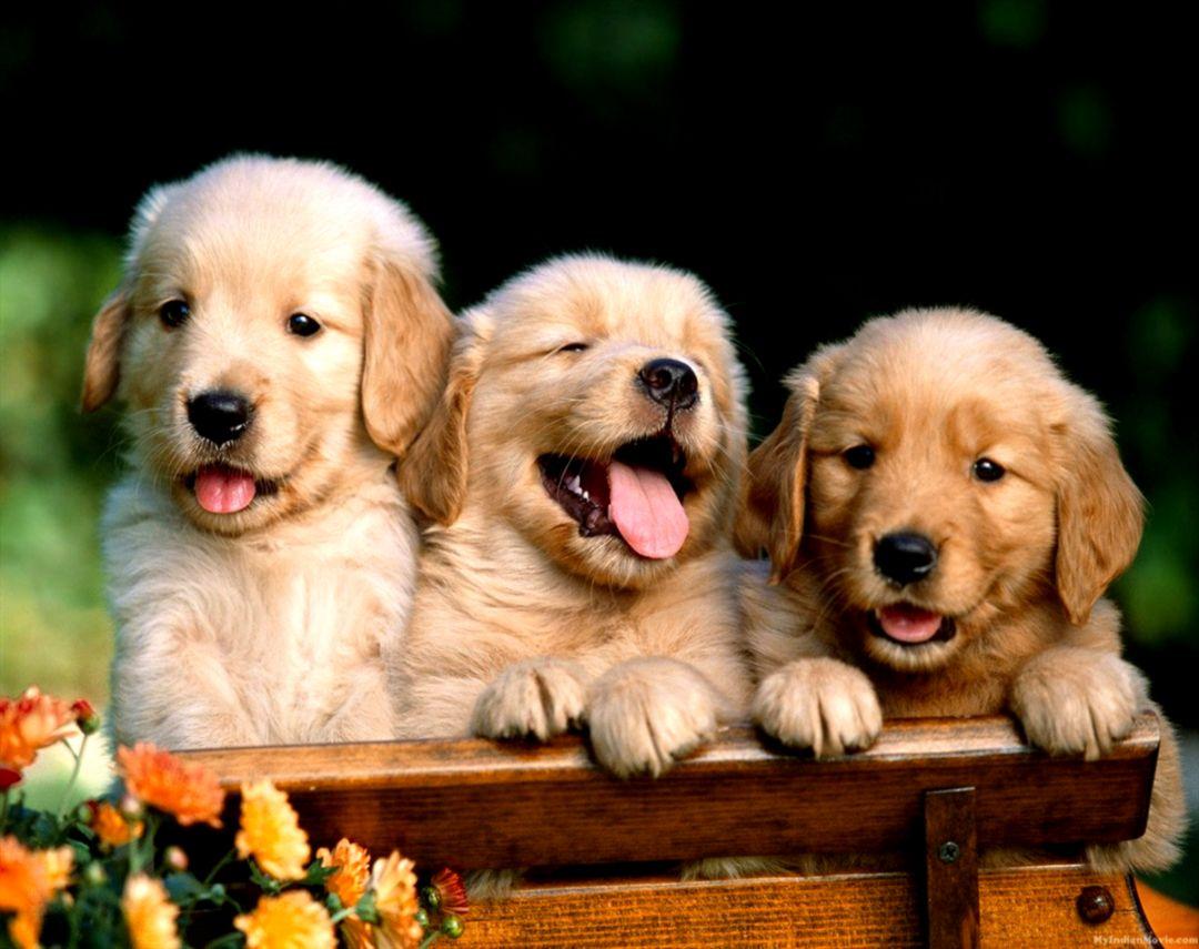 puppy desktop wallpaper image wallpaper collections