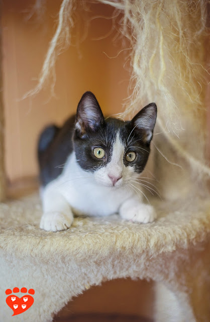 A black-and-white cat on a cat tree at a shelter