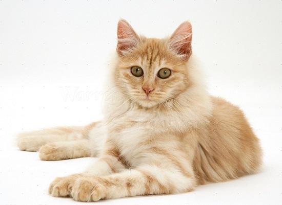 kucing paling populer di indonesia