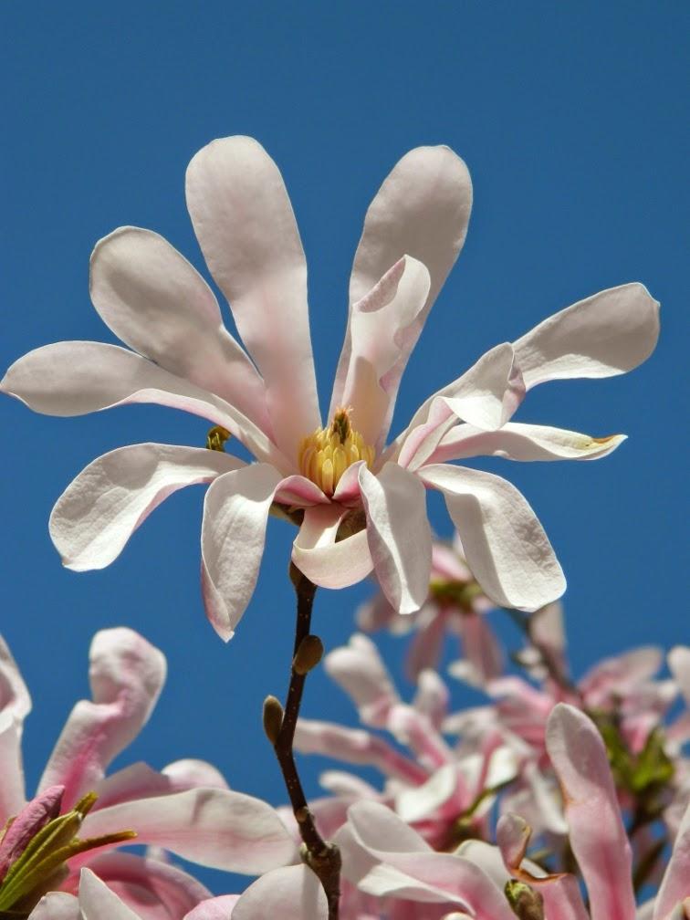 Garden Muses Not Another Toronto Gardening Blog Magnolia Blooms