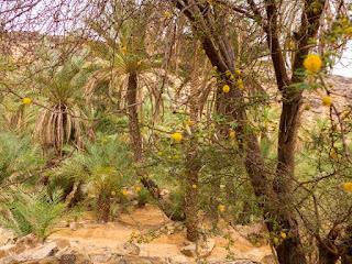 Mimose fiorite nell'oasi di El Berbara