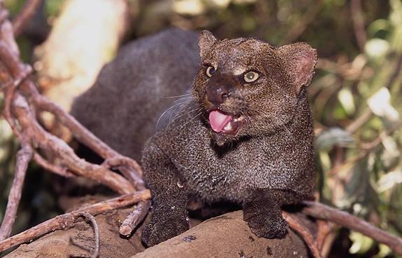 Gato Mourisco (Herpailurus yaguarondi)