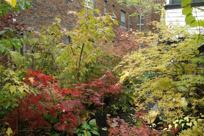Seiryu and Crimson Queen Japanese maples in autumn by garden muses: a Toronto gardening blog