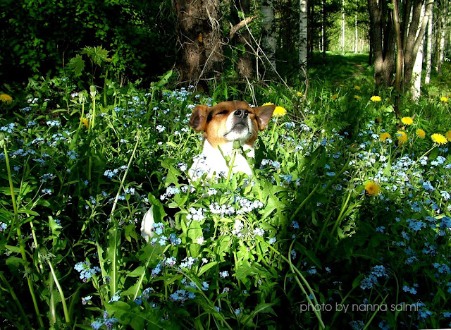 danishswedishfarmdog smelling wild flowers