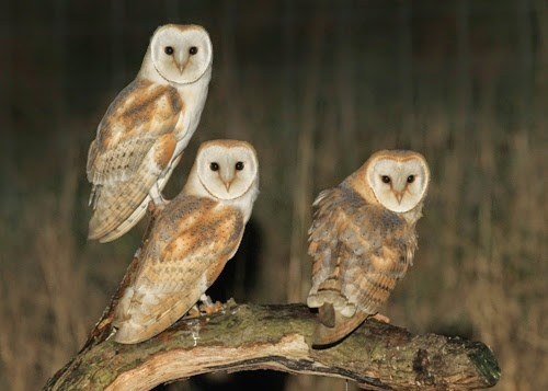 A Day In the Life of a Wildlife Artist: Why Barn Owls are ...