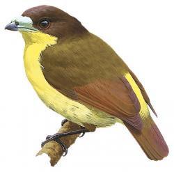 Loboparadisea sericea