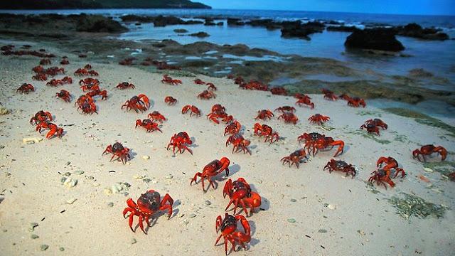 migracion del cangrejo rojo, christmas island