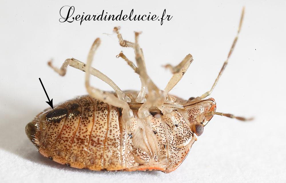 dryadocoris apicalis une punaise peu r pandue dans les r gions m ridionales. Black Bedroom Furniture Sets. Home Design Ideas