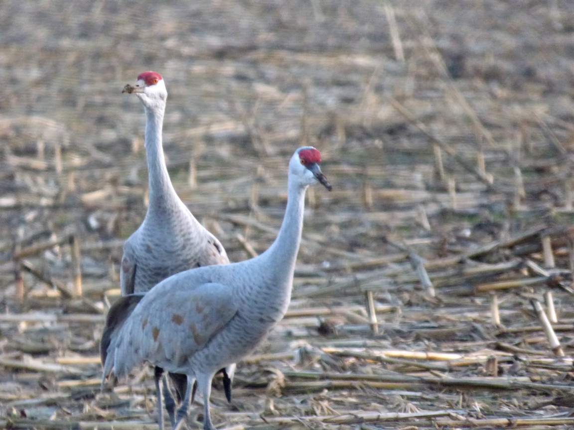 It Was Twilight And Sandhill Cranes >> Geotripper's California Birds: Sandhill Cranes at the San Joaquin National Wildlife Refuge (and ...