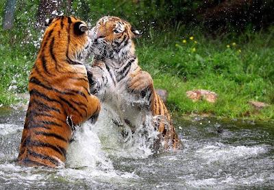 Fotografia tigres peleando en el agua