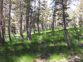 Abstieg durch grasigen Nadelwald