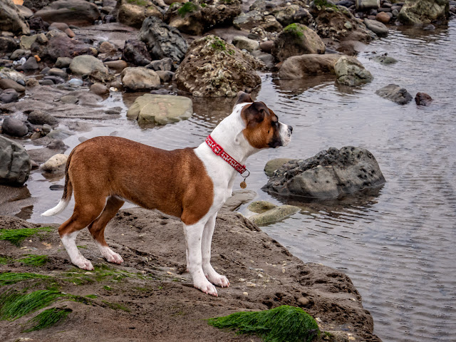 Photo of Ruby checking out one of the pools on the beach at Maryport