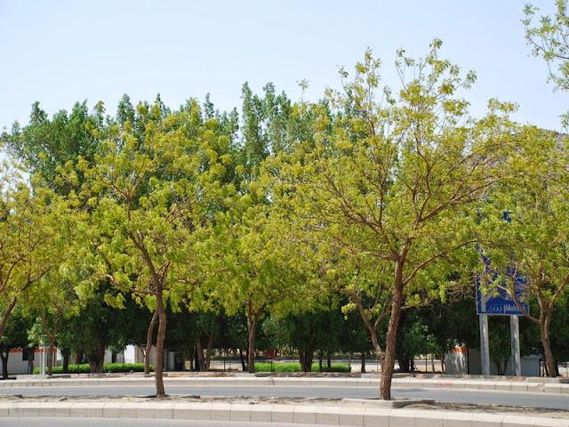 Pohon Sukarno