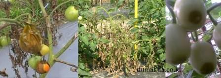 Penyakit Tanaman Tomat pada Musim Hujan Dan Cara Mengatasinya