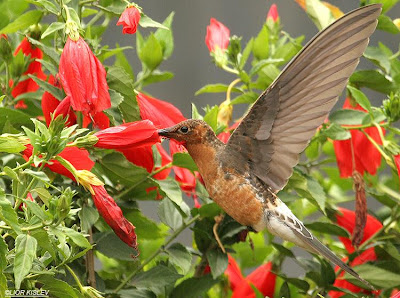 Giant hummingbird