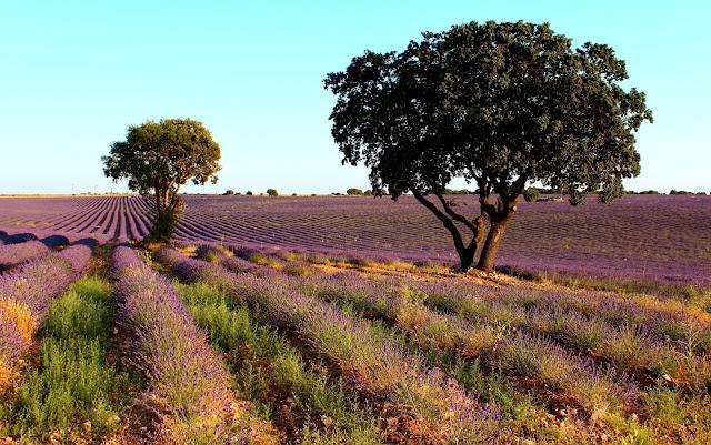 Dónde ver los campos de lavanda en España. Campos de lavanda en Brihuega. Qué ver en Brihuega. Lavanda