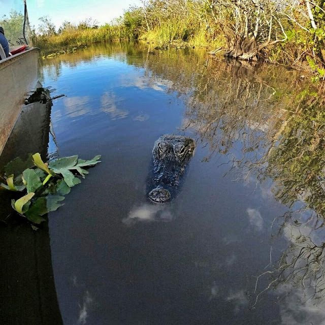 gator park florida everglades