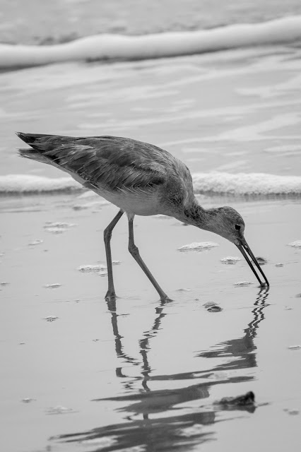 Willet, Rollover Pass