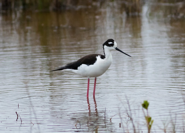 Black-necked Stilt - Merritt Island, Florida