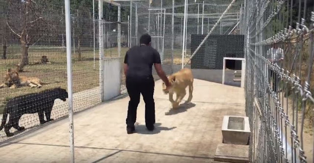 Unbelievable! You Won't Believe What Happened When This Man Reunited With A Lion He Saved!