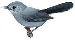 Mayrornis schistaceus