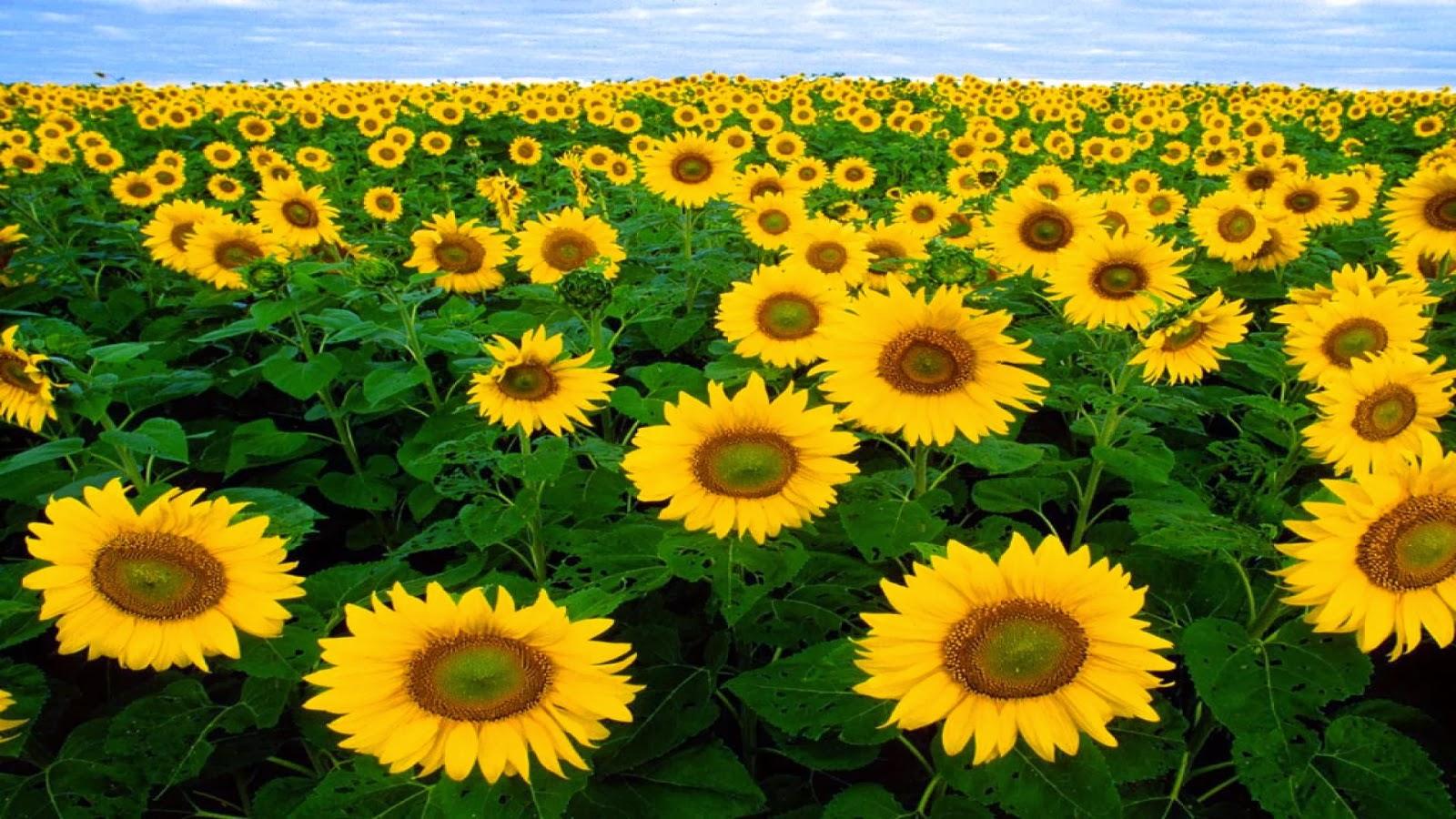 Josart Wallpaper Hd Download Gambar Wallpaper Bunga Matahari
