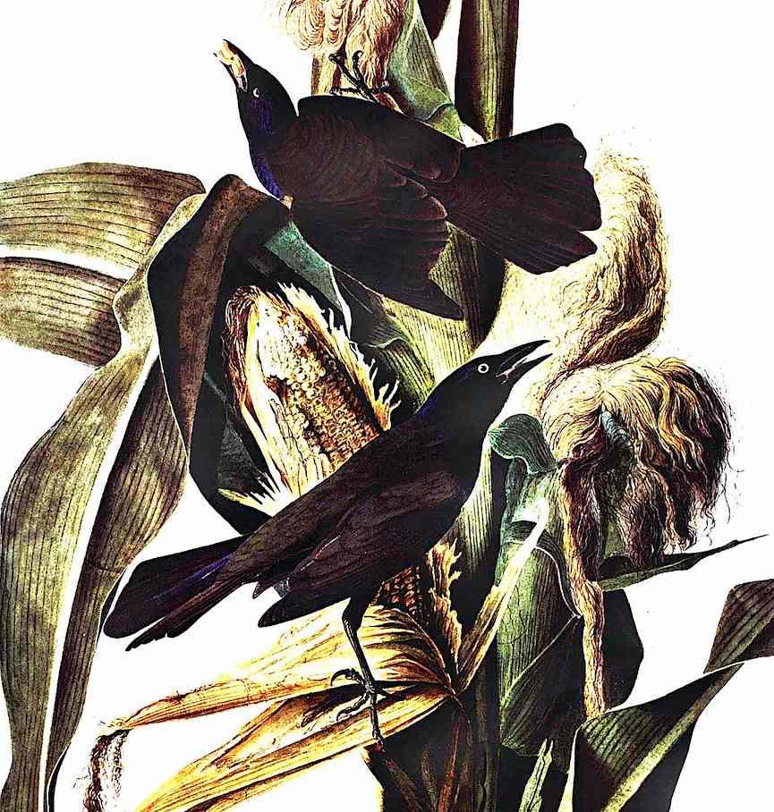 a John James Audubon color illustration of birds eatingcorn on stalks