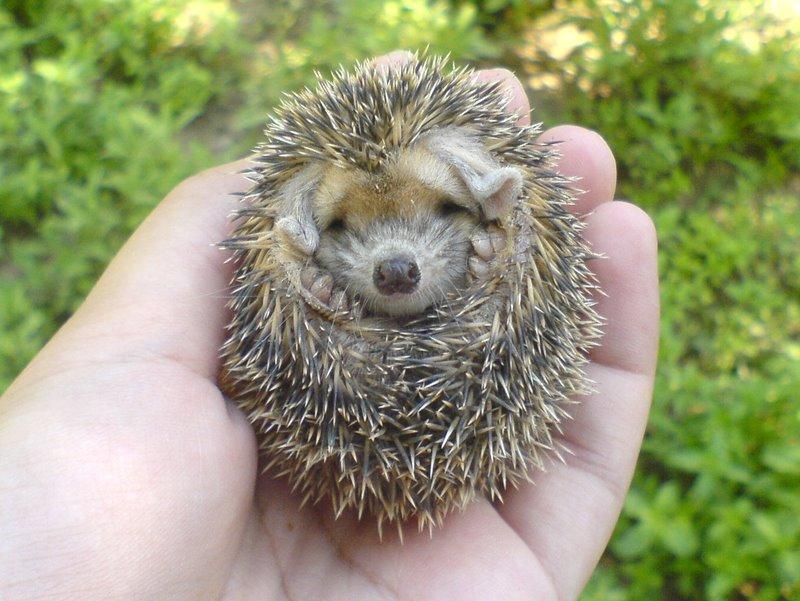 Mini Hedgehog | Animals Library