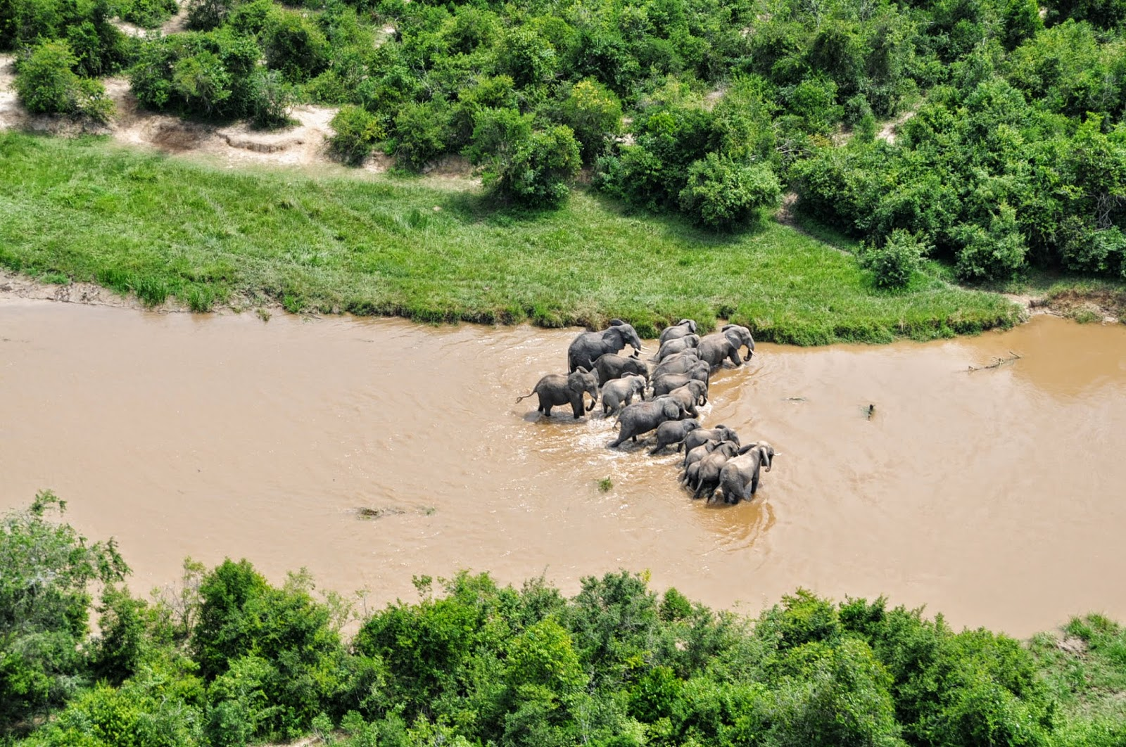 Les éléphants traversent la rivière Ishasha