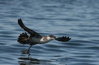 Great Shearwater flight