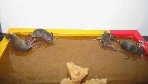 cara mengusir tikus dengan lem