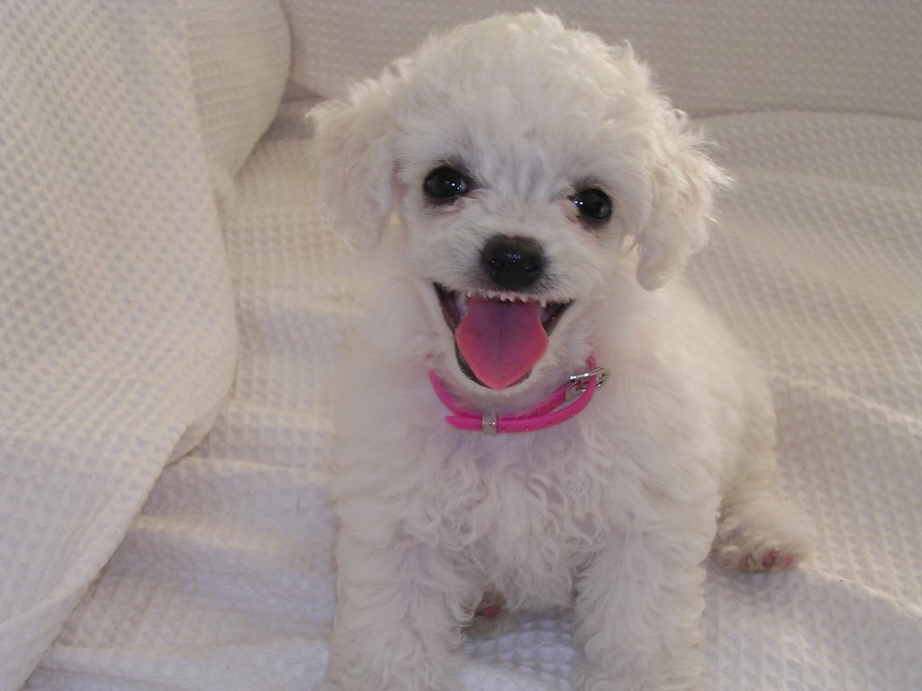 Cute Dogs|Pets: Cute Coffee Poodle Puppy Pictures-Sweet ... |Cute Poodle Puppies