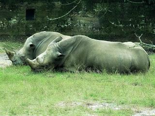 Casal de Rinocerontes no Parque Zoológico de Sapucaia
