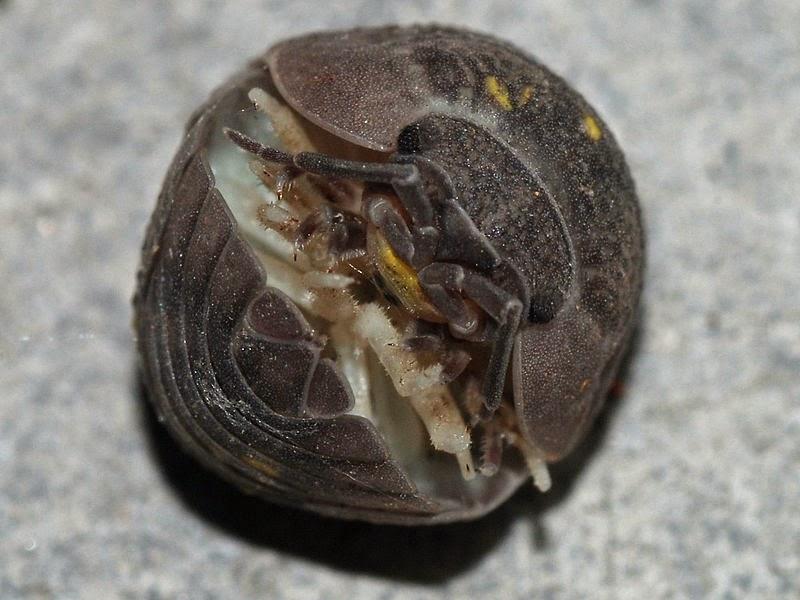 Backyard Bugs: Roly Poly or Potato Bug or Pill Bug or Wood ...
