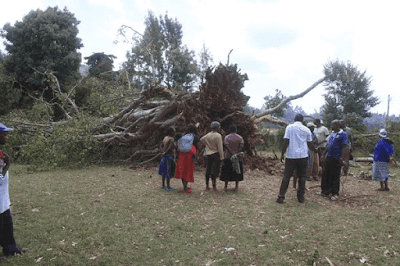 Mugumo tree fall in Kiamigwi, Mathira constituency, Nyeri County. PHOTO| File