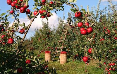 apple,apel,manfaat apel,khasiat apel,buah apel