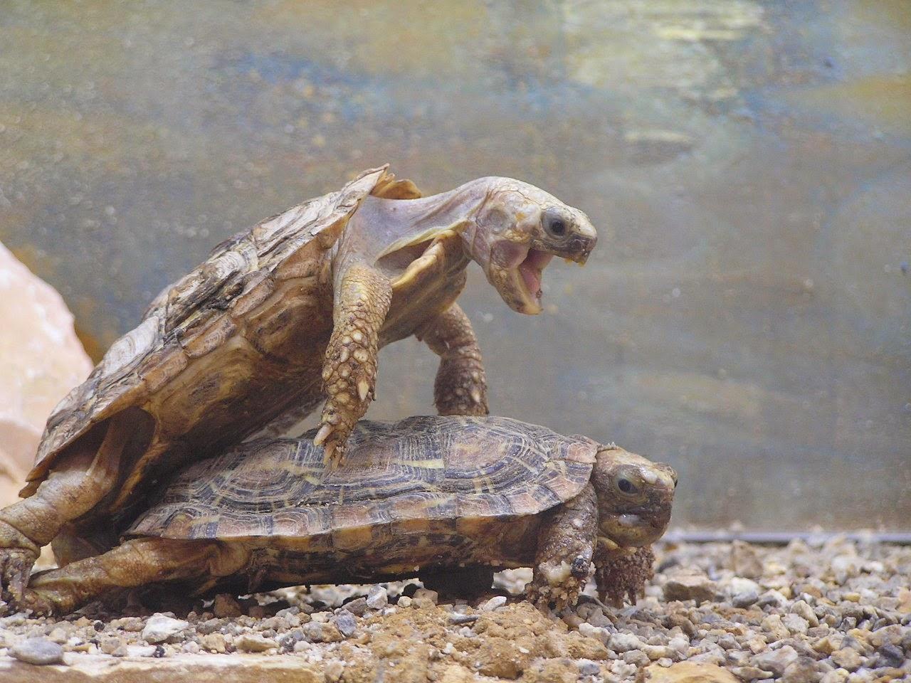 Turtle sex gif