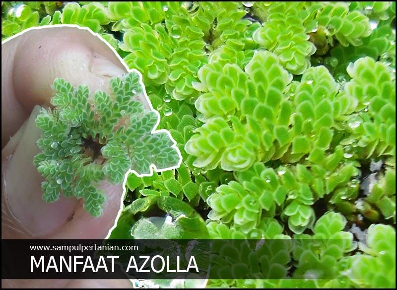 Manfaat Azolla Untuk Pertanian Perikanan Dan Peternakan