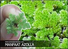 Manfaat Azolla untuk Pertanian, Perikanan dan Peternakan