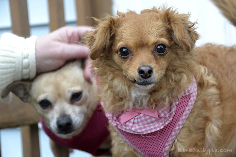 adopting a puppy mill survivor
