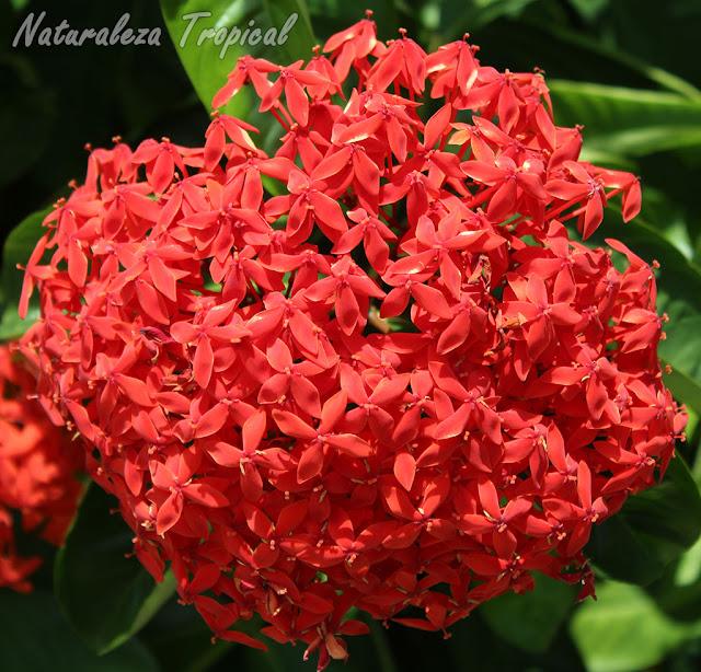 4- Ixora coccinea es una de las plantas más comunes en Cuba por su perenne floración y fácil mantenimiento. Está presente en más del 95% de los jardines del país.
