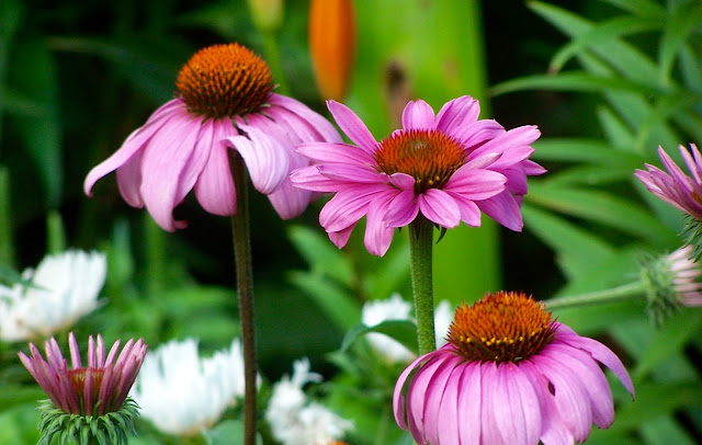 Echinacea purpurea growing with white stokesia in the perennial border.