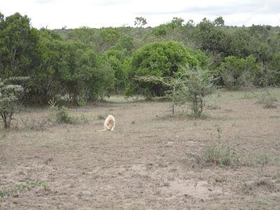 First Albino Baboon