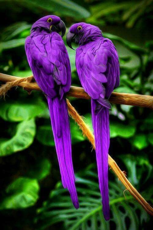shukernature whatever happened to the purple macaw